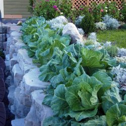 August Cabbage Row