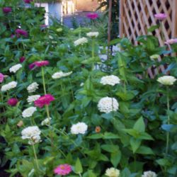 Fall Zinnia Bed